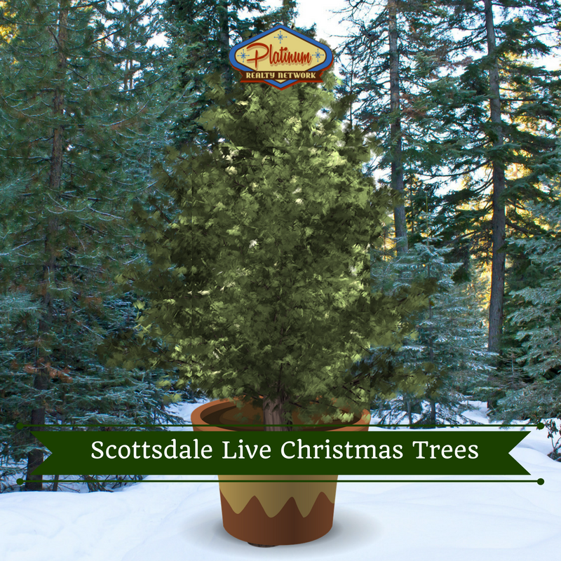 why you should buy a living christmas tree and where to buy one in scottsdale north scottsdale cave creek carefree az real estate platinum realty network - How Long Do Live Christmas Trees Last